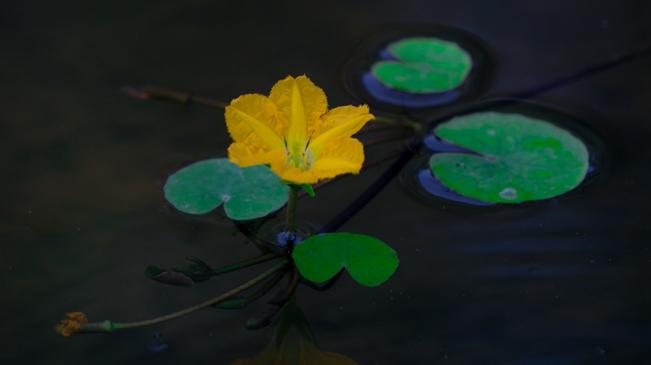 荇菜花開在河之洲