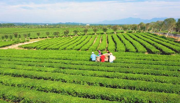 風景如畫 湖北鹹寧打造茶旅融合生態茶園