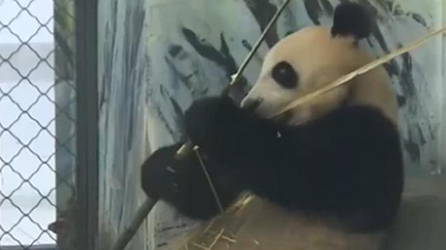 湖南鳳凰:暑期旅遊熱度提升 熊貓園親子遊火爆